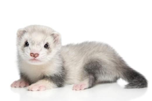 2014-02-bigstock-baby-ferret-on-a-white-backgro-31062878-71402c2d-xl