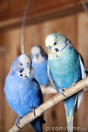 de-grasparkieten-van-het-huisdier-vogelhuis-22664564