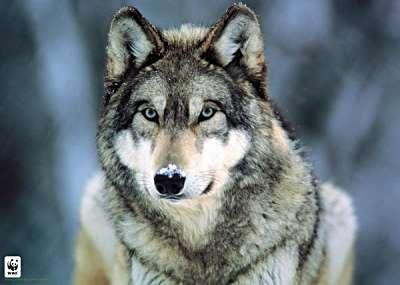 gray_wolf_montana_400x285